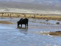 Wasserbüffel im Salar de Uyuni