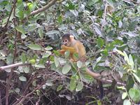Capuccinoaffe in Rurrenabaque